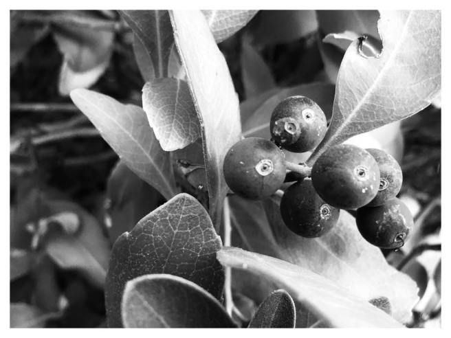 front yard berries