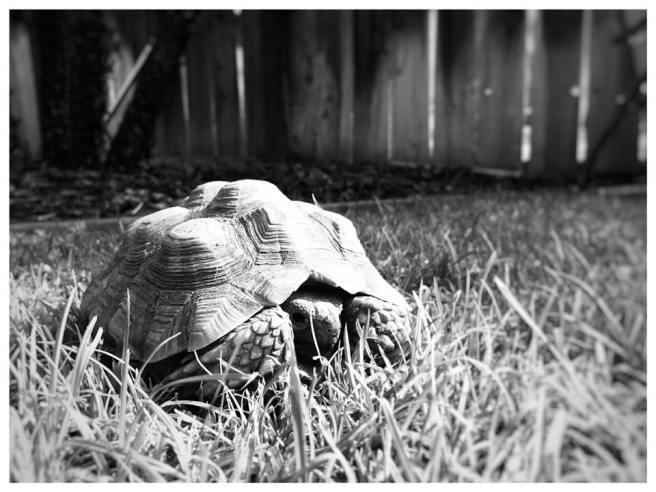 Peek A Boo Tortoise